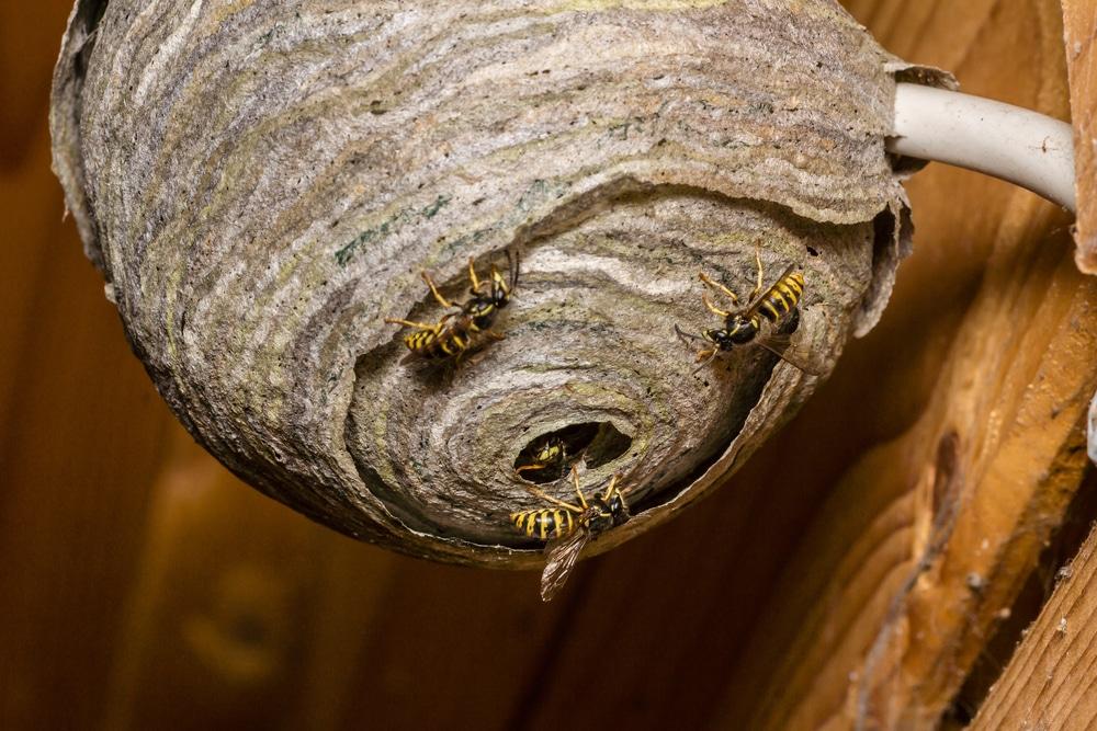 Comment éviter que les guêpes s'installent?