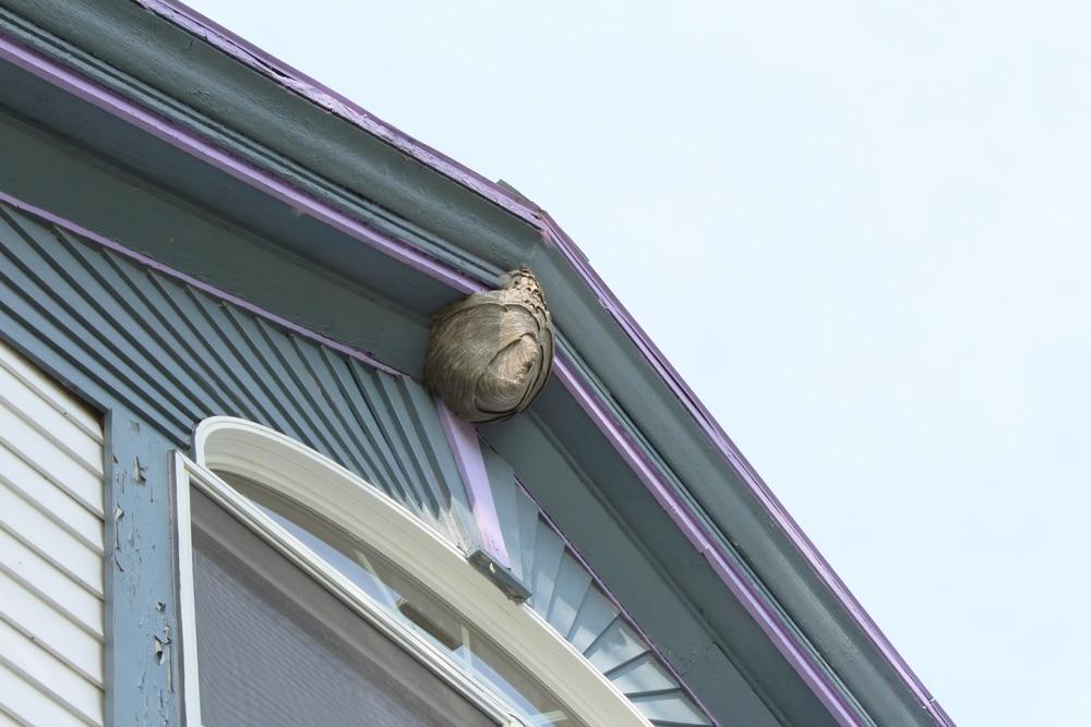 Qu'est-ce qui attire les guêpes dans une habitation?
