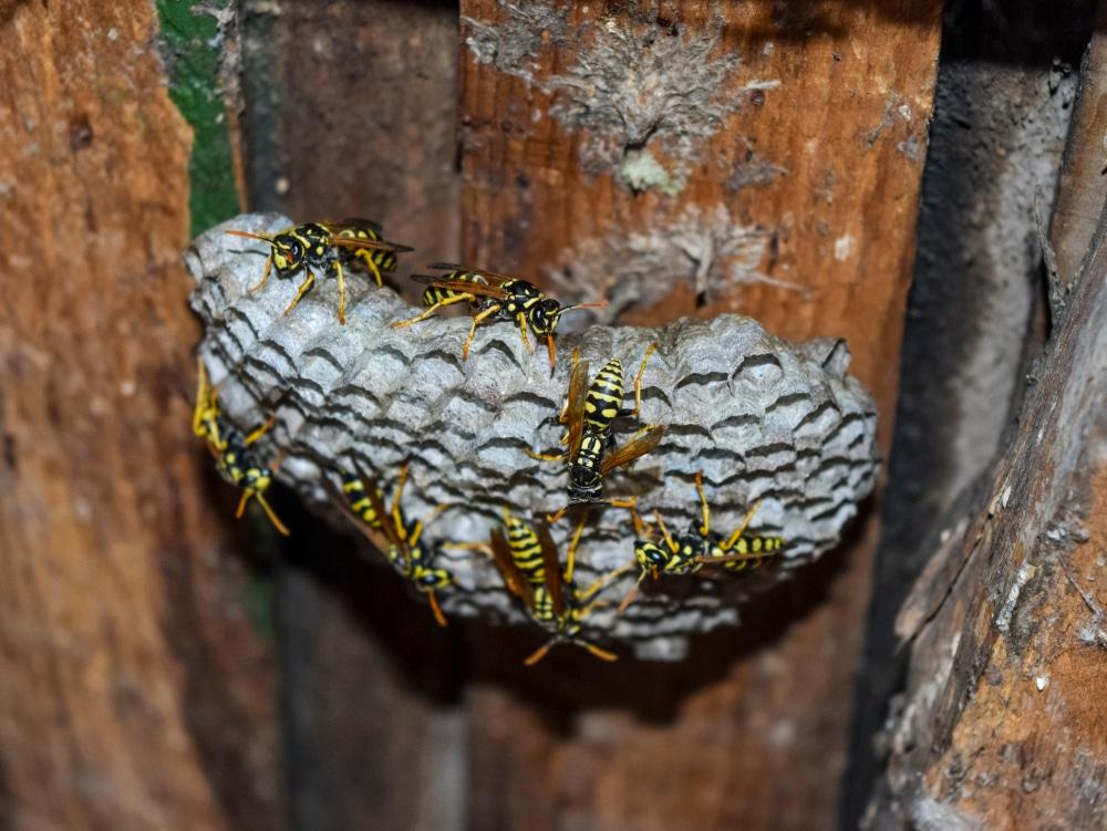 Où les guêpes aiment-elles faire leur nid?